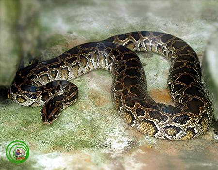 Mãng xà kích thước lớn nhất Việt Nam: Dài đến 8m, nặng hơn 100kg - Ảnh 6.